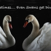 divorce advice, swans